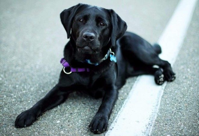 Labrador Pes Obrazky Psi Usmev