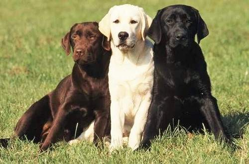 Labrador pes obrázky
