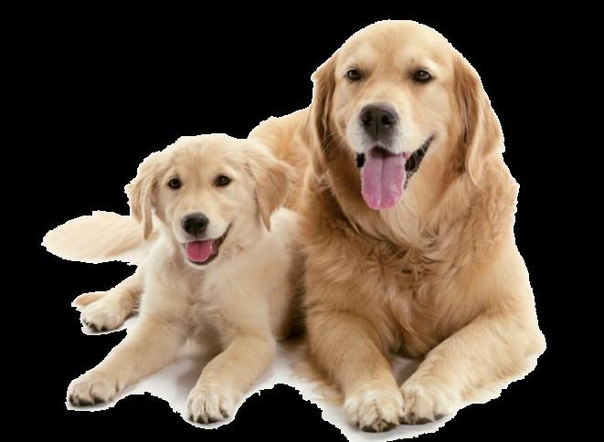 Do kdy je pes štěně