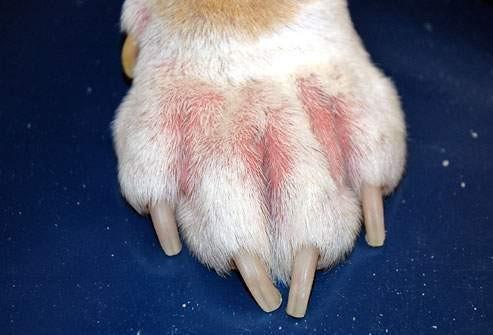Vyrážka na tlapce u psa - alergie