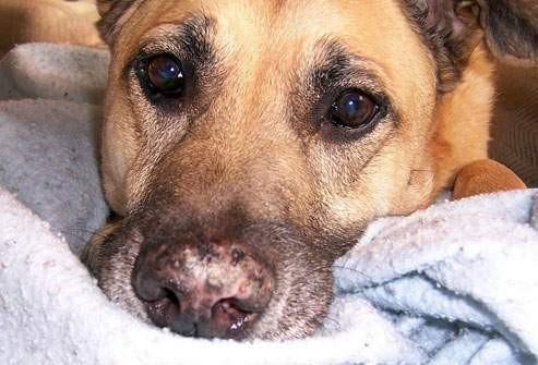 Lupus na psím čumáku