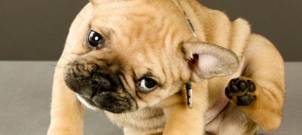 Proč se pes pořád drbe