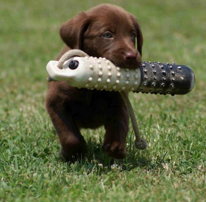 Kdy začít s výcvikem a výchovou psa, resp. štěněte?