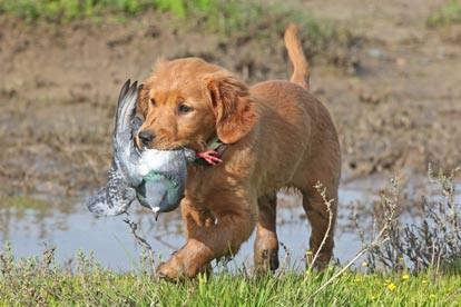 Výcvik loveckých psů