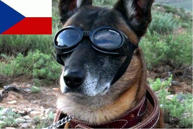 Plemeno Český vlčák