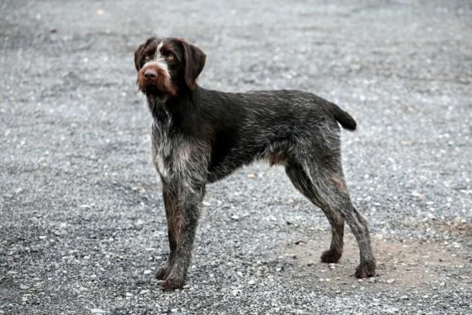 Český fousek je domácí pes