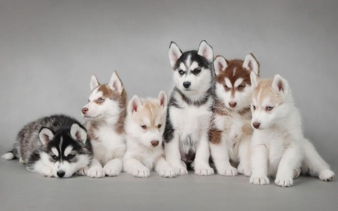 Pes hasky obrázky (husky)